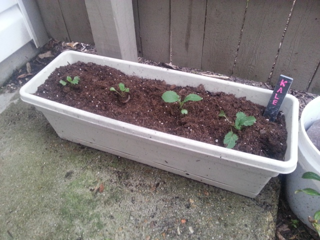 container planting kale