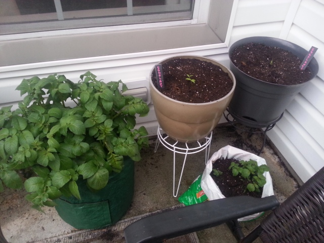 container planting potatoes eggplants