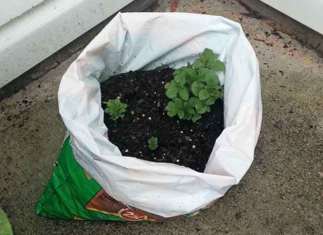 growing potatoes in plastic bag day 15
